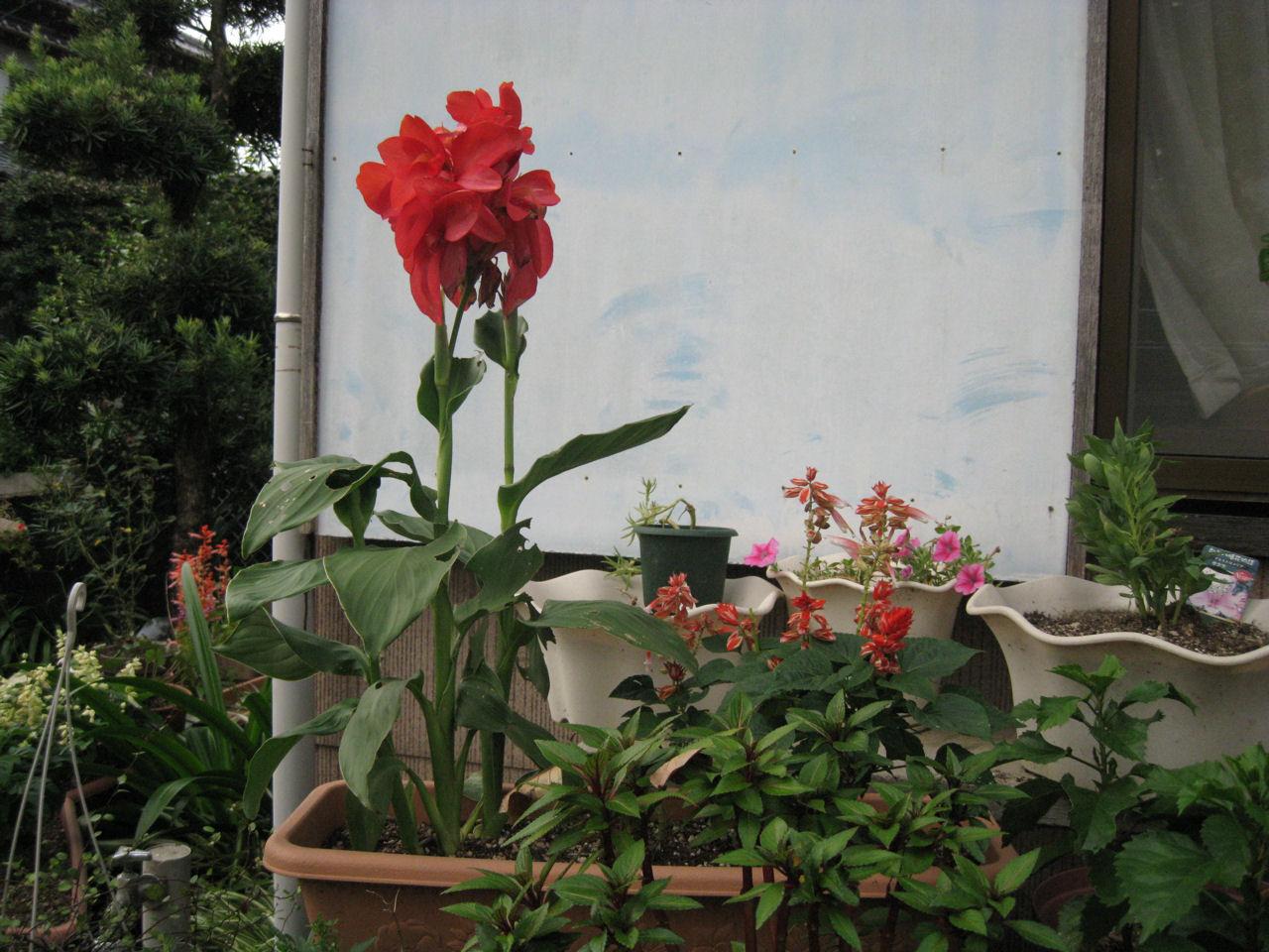 気まま日記カテゴリ:カンナ斑入りカンナ種まきカンナ                        nana