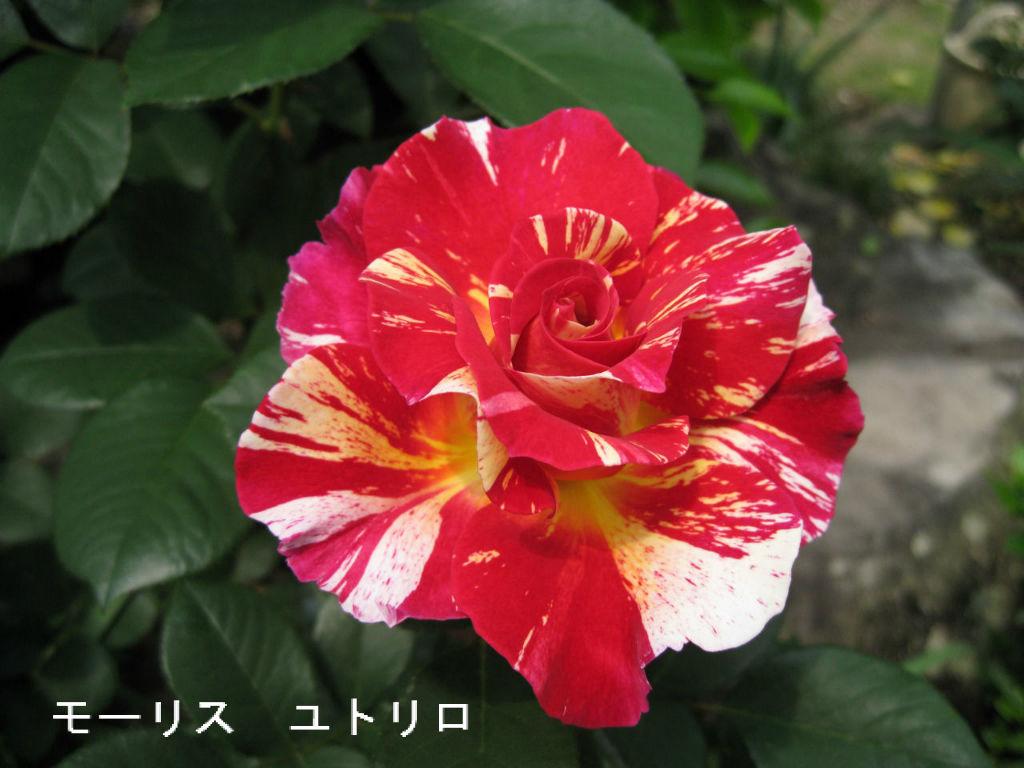 モーリス ユトリロ 威厳を感じられるような花色。 しかも、花もちが良くて、開花後の花色の変化..