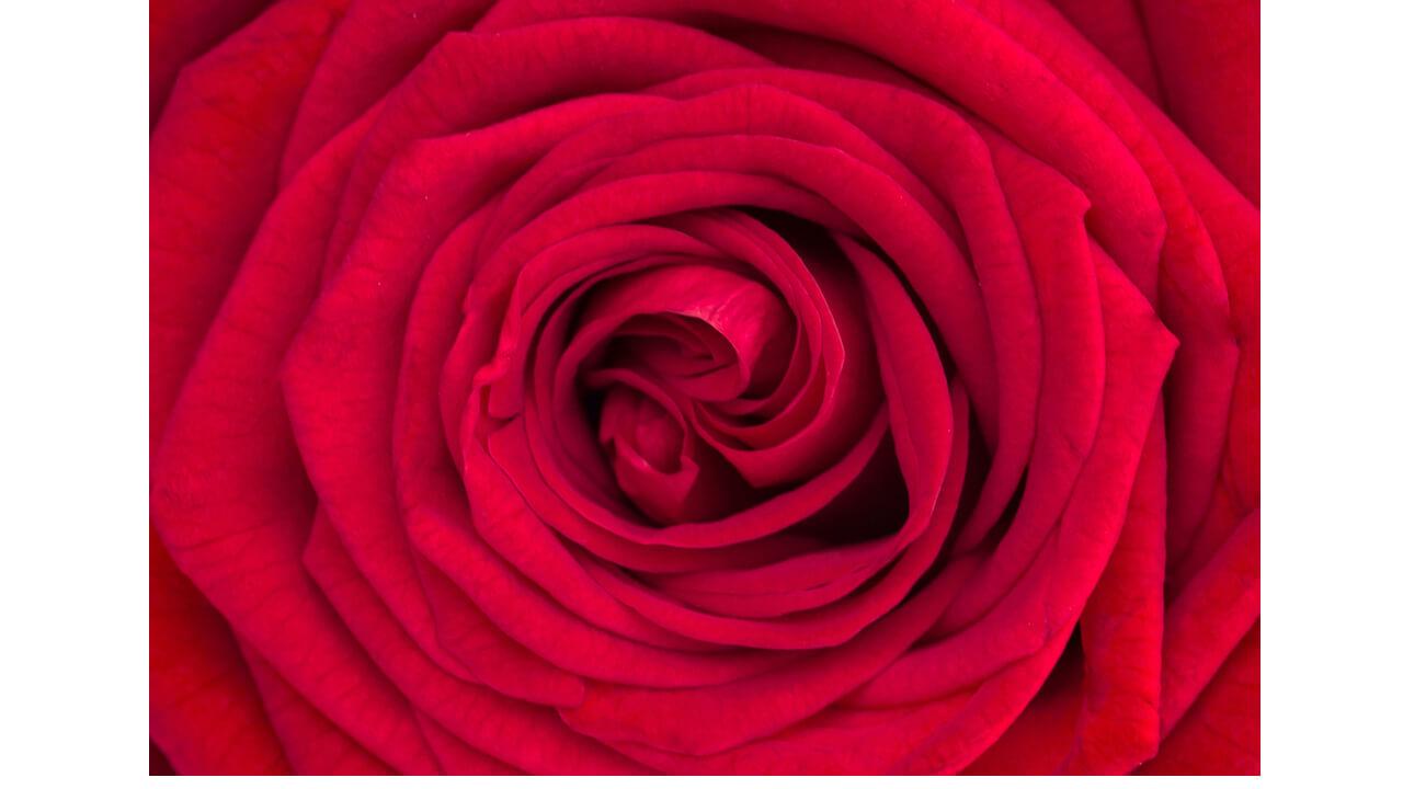 0705red-rose-free-license-cc0