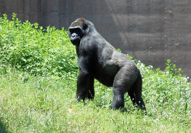 gorilla-6395512_640