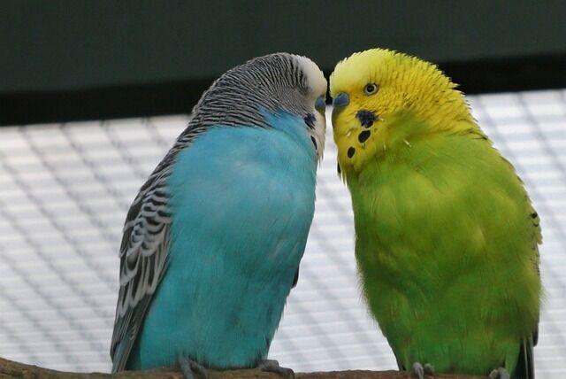 parakeets-5854293_640