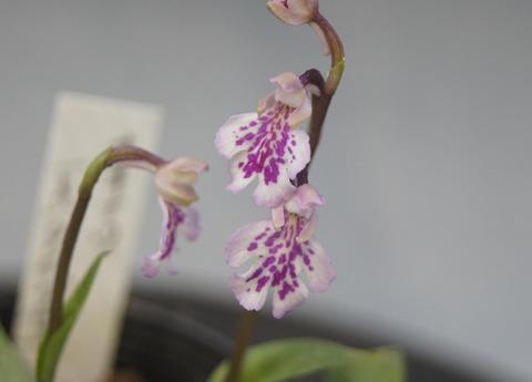 オキナワチドリ斑紋タイプ-1