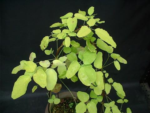 ミツバアケビ黄葉