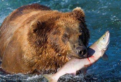 bears_pictured_fishing_in_alaska_05
