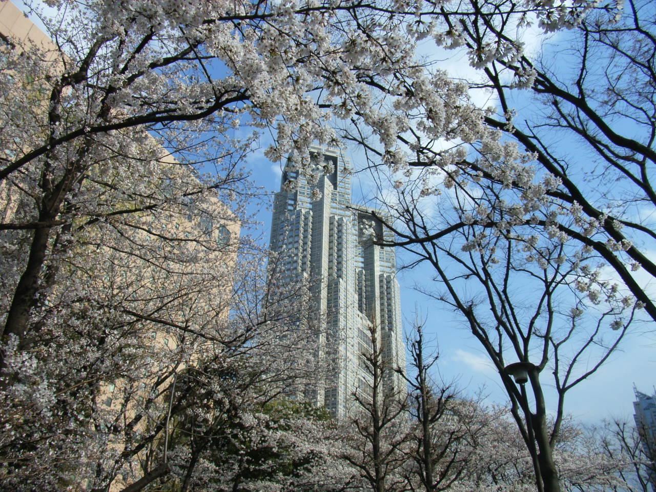 新宿西口中央公園の桜
