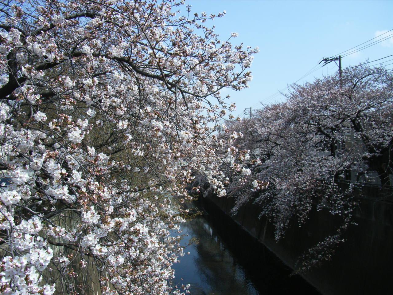石神井川の桜中板橋