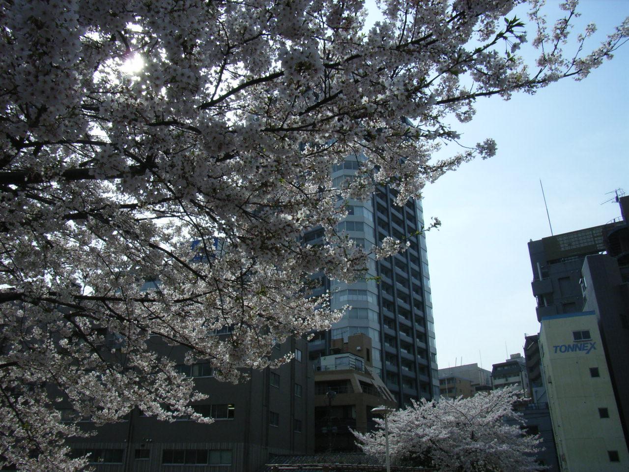 ジム所近くの桜