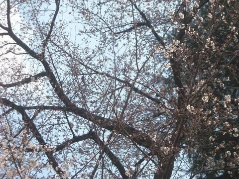 桜_20160327