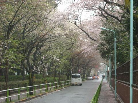 桜_20160407
