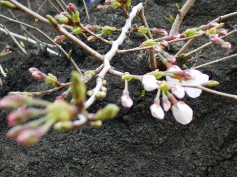 桜(2017年3月25日)
