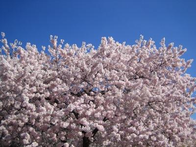 桜 もっこもこの桜がワシントンで咲いていました。 天気もよく、すごい人出。... Manja的生