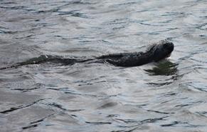 イグアナ泳ぐ