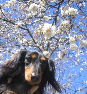 桜とまんじゃ