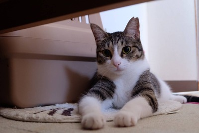 10月20日 日曜日『保護猫のずっとのお家探し里親会』参加猫さん紹介①美人姉妹やのに。
