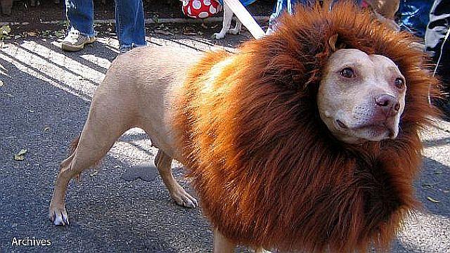 ライオン チベタン・マスティフ