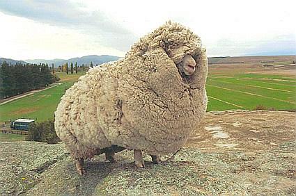6年間放浪の羊 大量の毛で膨れ上がる