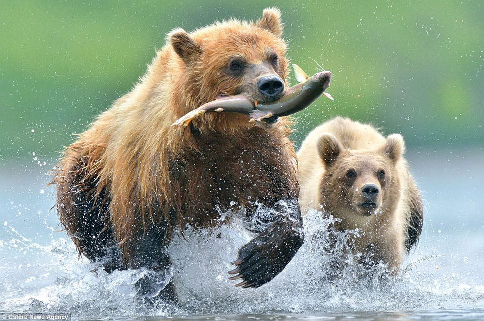Naver for Bear catching fish