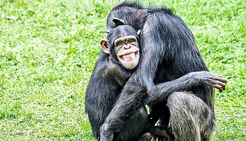 smiling-ape_1600