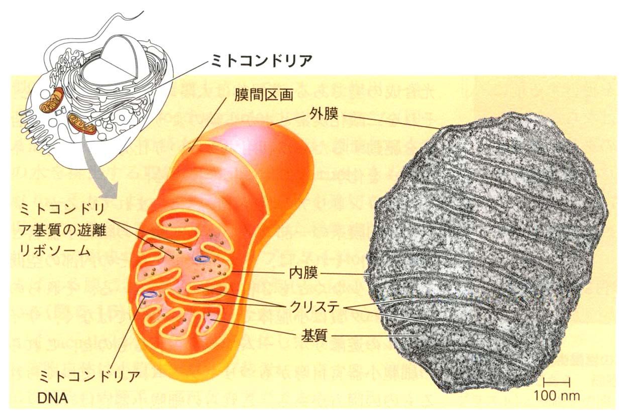 起源 ミトコンドリア の