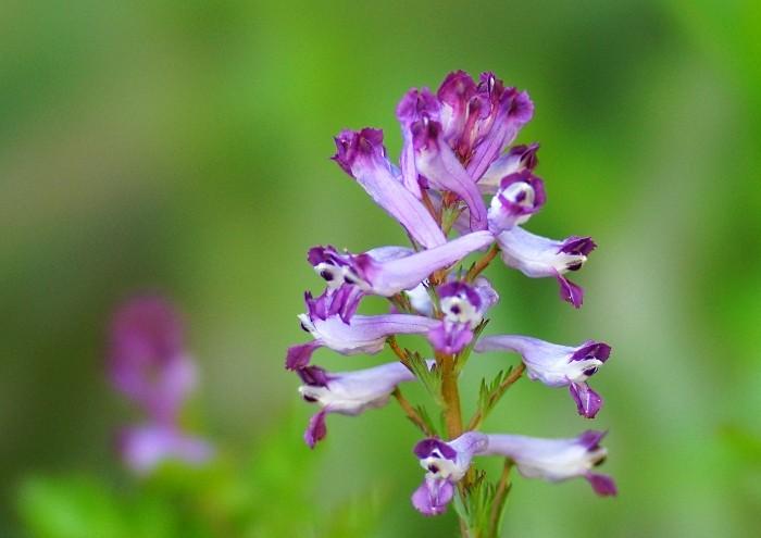 いつでもLOUPE:花の写し絵−ムラサキケマンは妖怪百目のように いつでもLOUPE 自然を楽し
