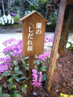 しだれ桜の蘭