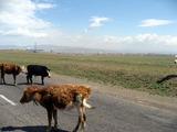 草原ツアー帰り道 道に牛