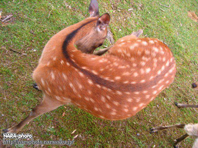 曲がる鹿・横