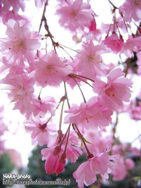 三重塔横の八重桜(3)