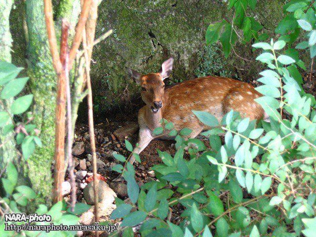 避暑中の鹿2