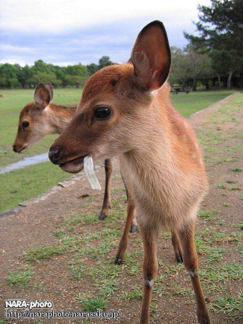 バンビと鹿せんべい6