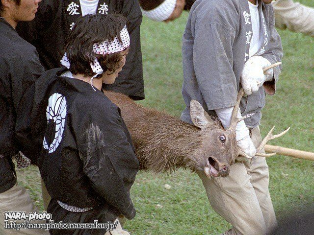 鹿の角切り9