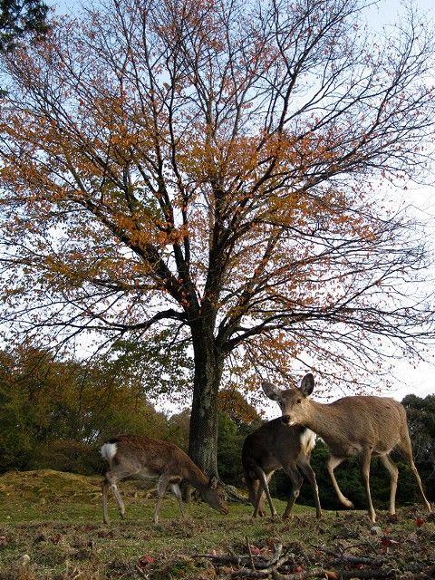 紅葉と鹿8