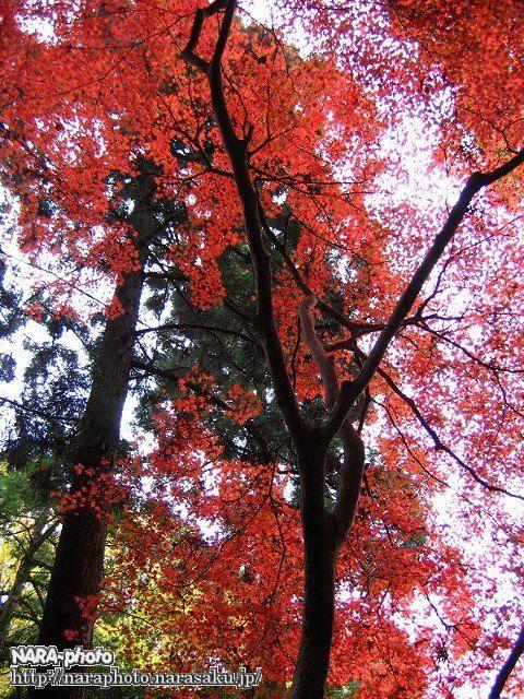 春日山遊歩道の紅葉1