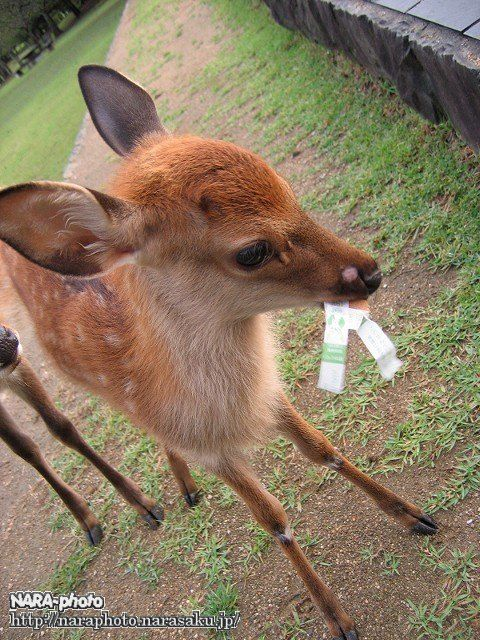 バンビと鹿せんべい4