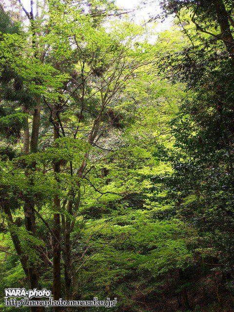 奈良奥山ドライブウェイの新緑2