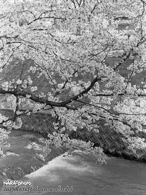 桜と佐保川