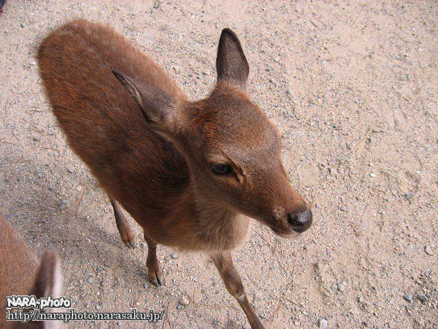 バンビと鹿せんべい8