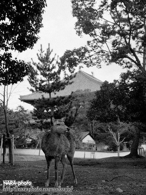 鹿と大仏殿