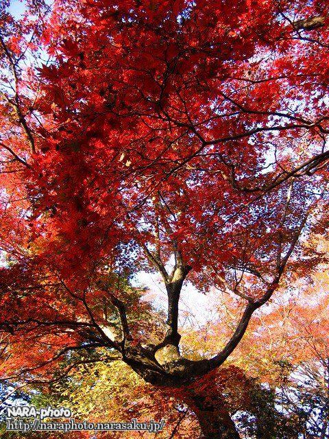 若草山の紅葉3