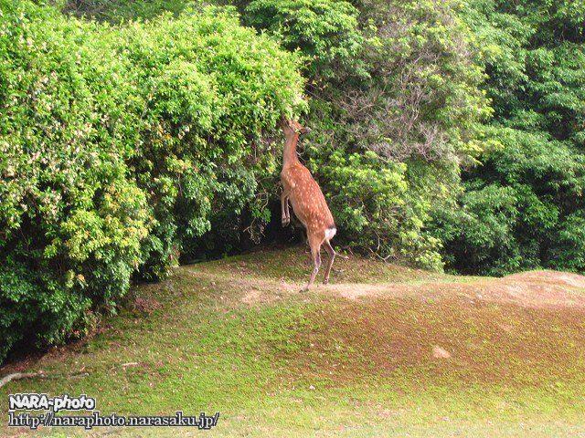 立ち上がった鹿