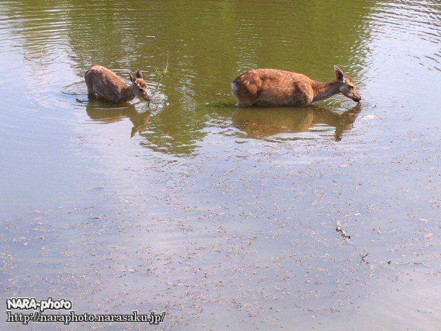 鹿が入水中(1)