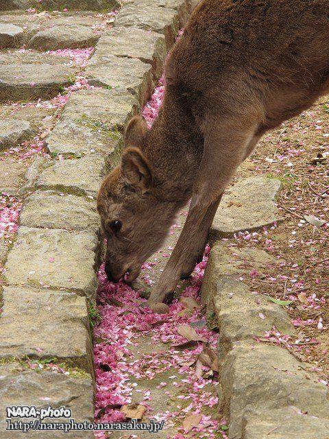 桜&鹿10