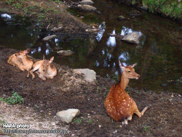避暑中の鹿5