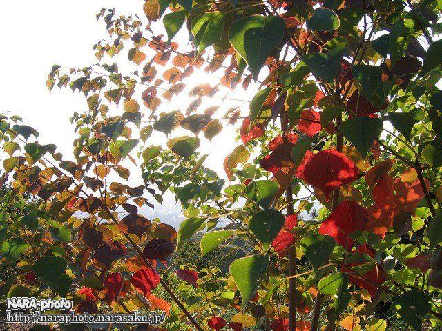 若草山の秋6