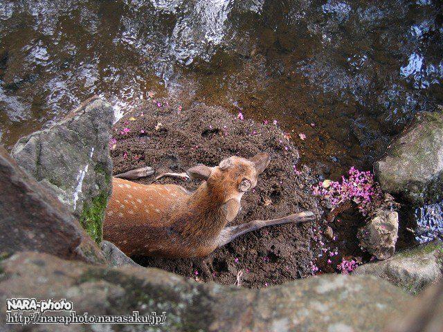 避暑中の鹿4
