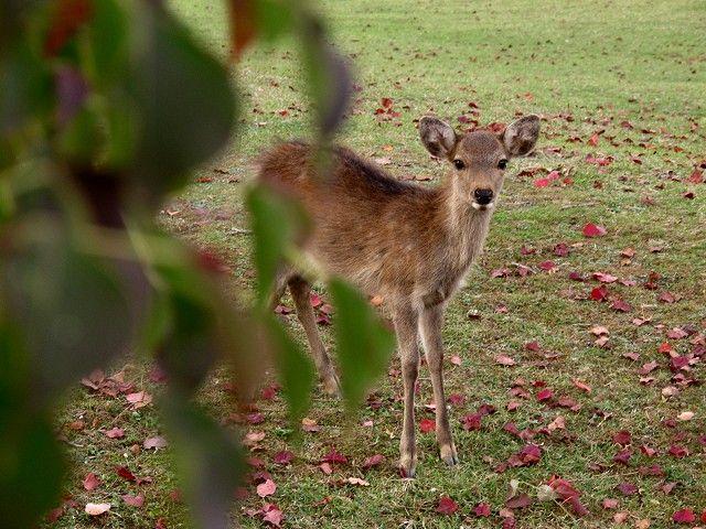 紅葉と鹿3