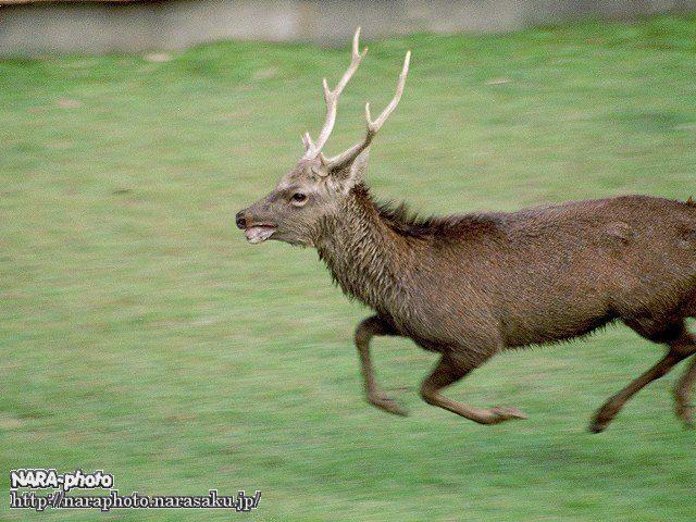 鹿の角切り3