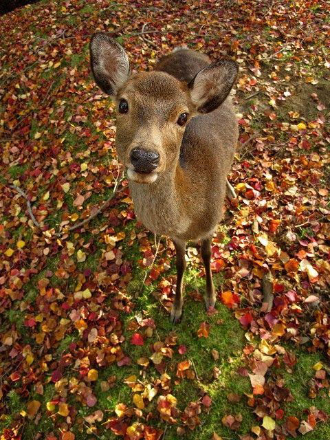 紅葉と鹿6