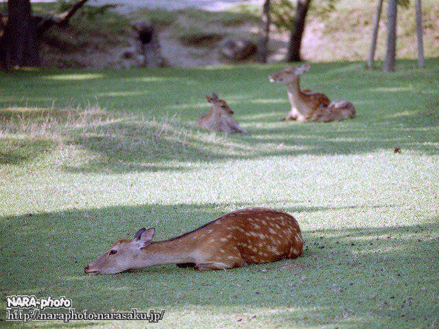 やっぱりだらけ鹿