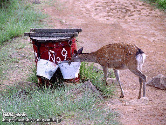 バケツの水を飲む鹿